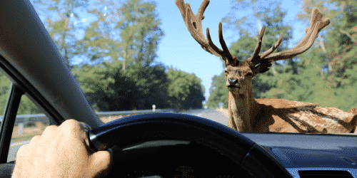 Deer related collisions with vehicle