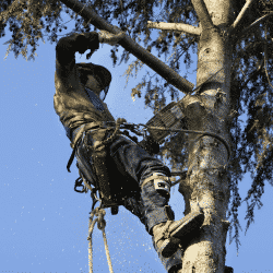 Fast growing trees should be maintained by tree pruning professionals
