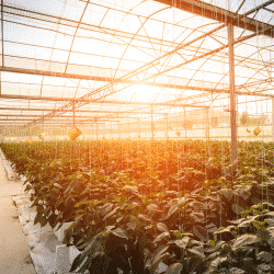 Greenhouses face environmental risks