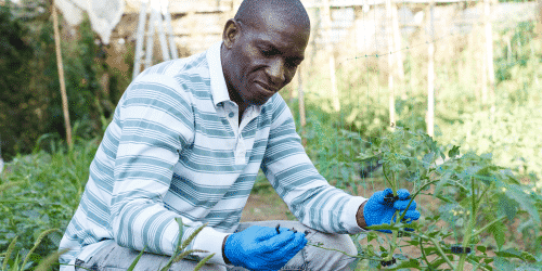 Greenhouse grower inspecting plants for bacterial diseases