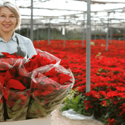 Greenhouse grower with poinsettias