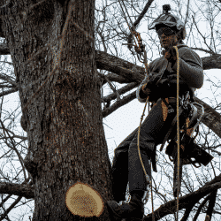 Tree service worker suspended from ropes