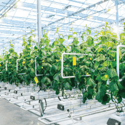 Hydroponic crops growing in clean greenhouse